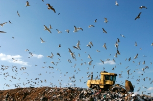 Gulls at a Landfill