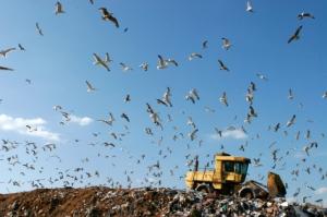 Gulls at a Landfill