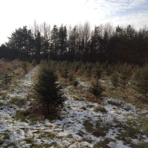 ChristmasTreeFarm-Seedling